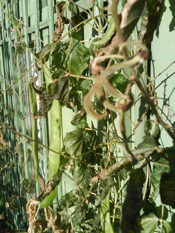 Frostad rosenböna. Då har kylan även tagit livet av mina rosenbönor. Inga fler härliga blommor som producerar vackra bönor... 2 15 okt 2010
